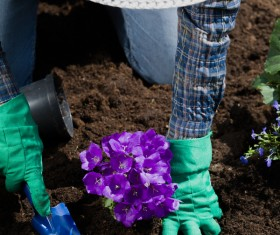 Gardener planting various flowers Stock Photo 08