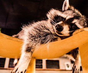 Lazy sleeping little raccoon Stock Photo
