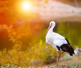 Oriental White Stork Stock Photo 04