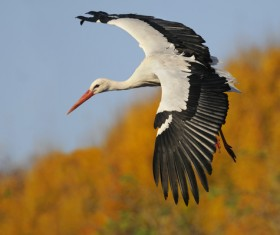 Oriental White Stork flight Stock Photo 01
