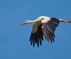 Oriental White Stork flight Stock Photo 02