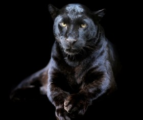 Panthers Stock Photo