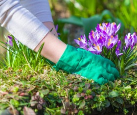 Planting crocuses in the garden Stock Photo 01