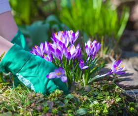 Planting crocuses in the garden Stock Photo 03