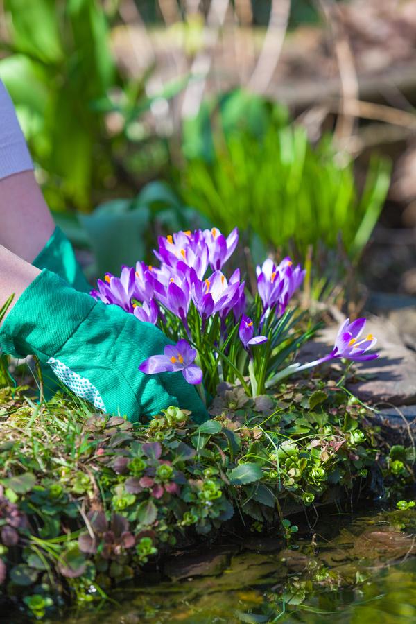 Planting crocuses in the garden Stock Photo 03
