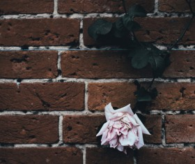 Rose flowers decoration on old brick wall Stock Photo