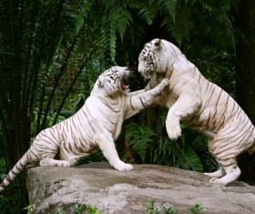 Two white tiger bengal fight Stock Photo