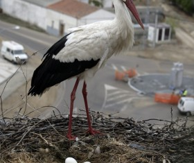 White Stork guarding the nest Stock Photo