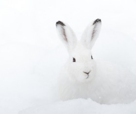 White rabbit in the snow Stock Photo