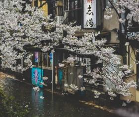 White sakura on japan town Stock Photo