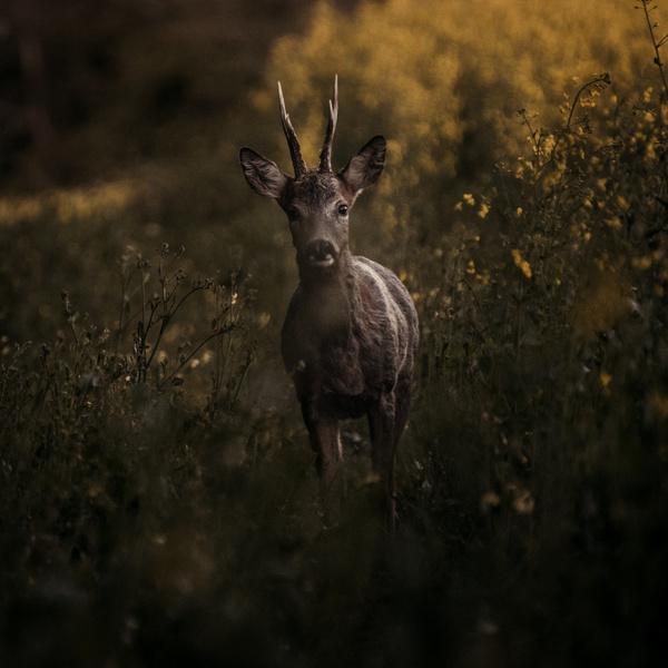 Wild reindeer Stock Photo