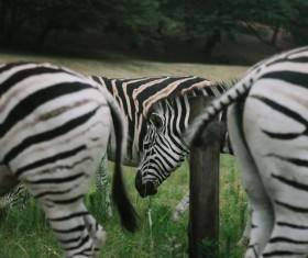 Wild zebras in nature Stock Photo
