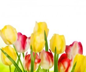Yellow with red tulips with white background vector