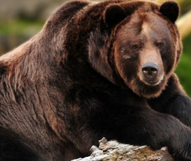 A brown bear resting on the wood Stock Photo