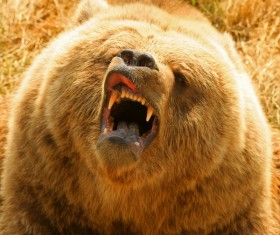 A mouth roaring bear Stock Photo 01