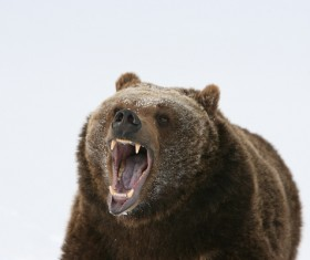 A mouth roaring bear Stock Photo 02