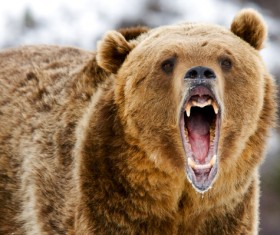 A mouth roaring bear Stock Photo 03