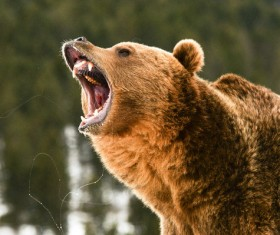 A mouth roaring bear Stock Photo 04