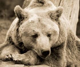 Bear black and white photo Stock Photo