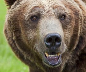 Bear head close-up Stock Photo