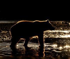 Bear wandering looking for prey Stock Photo