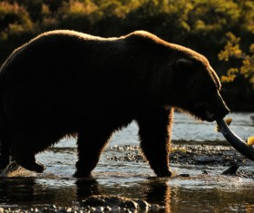 Bear who successfully caught fish in the water Stock Photo