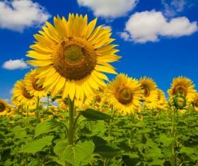 Bee on sunflower Stock Photo