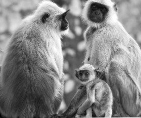 Black and white photo of monkey Stock Photo