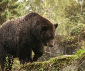 Black bear walking in the mountains Stock Photo