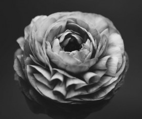 Black white picture of fresh rose closeup Stock Photo