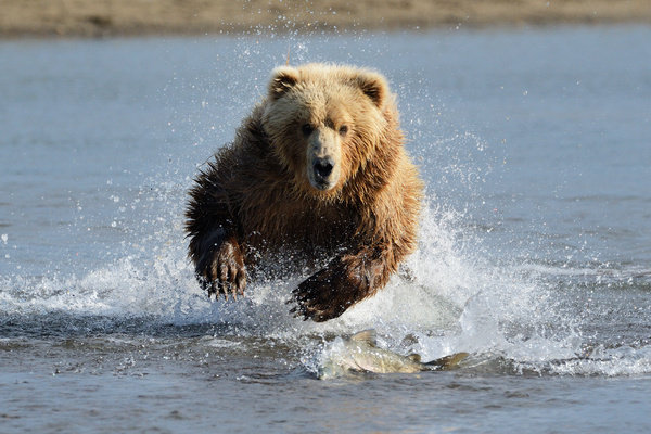 Brown bear catching fish in water Stock Photo