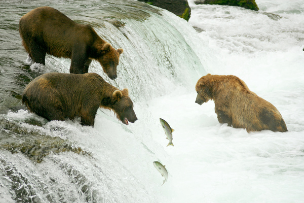 Brown bear catching fish together at the waterfall Stock Photo