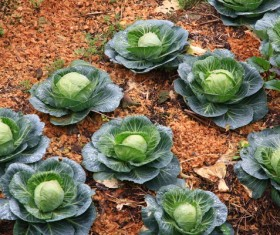Cabbage in the vegetable garden Stock Photo