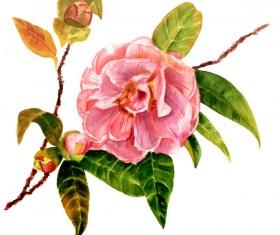 Camellia watercolor hand drawn vector