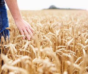 Close-up of hand touching wheat Stock Photo 02