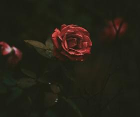 Closeup fresh red rose Stock Photo