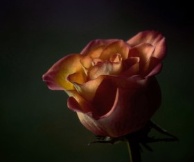 Closeup of beautiful fresh rose Stock Photo