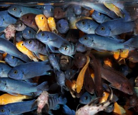 Colored fish crowded together Stock Photo