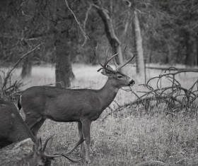 Deer black and white photo Stock Photo