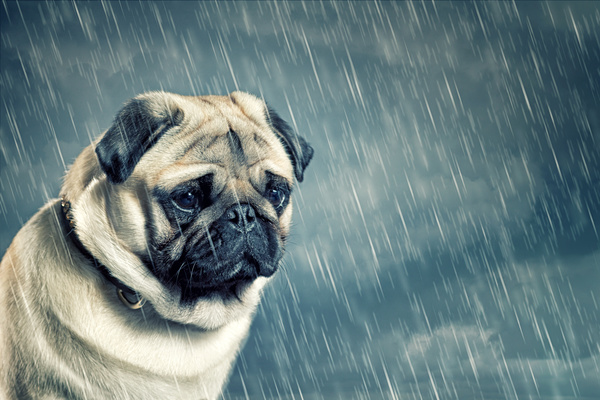 Dog in the rain Stock Photo