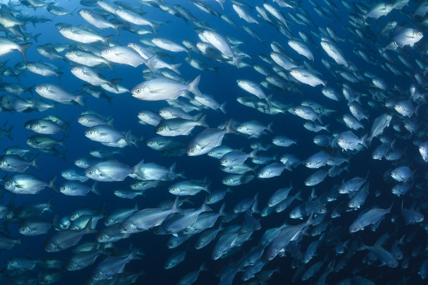 Flock of fish in the sea Stock Photo 03