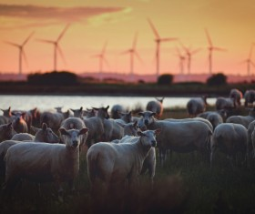 Flock of sheep at Windmill Farm Stock Photo