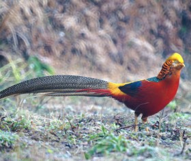 Golden pheasant Stock Photo 02
