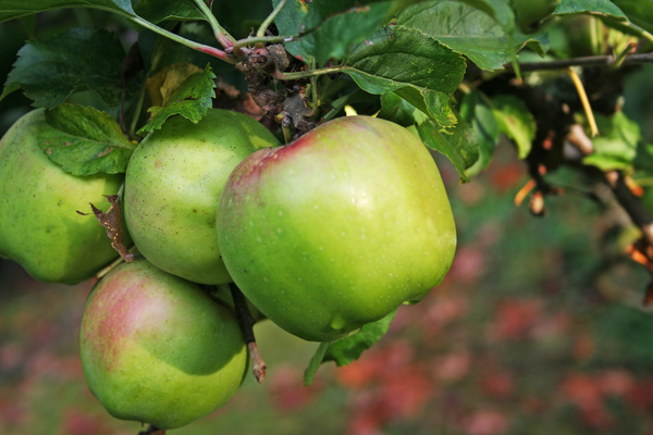 Green apple hanging on a branch Stock Photo