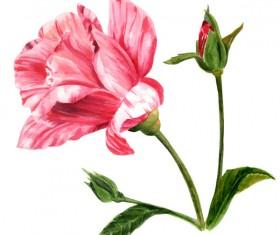 Hand drawn rose watercolor vector