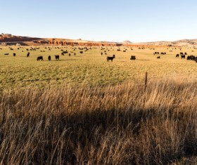 Herd of cattle in the ranch Stock Photo