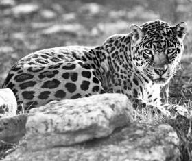 Leopard black and white photo Stock Photo