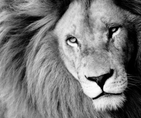 Lion black and white photo Stock Photo