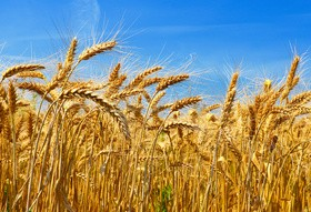 Mature golden yellow wheat Stock Photo