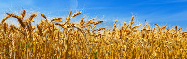 Mature golden yellow wheat Stock Photo
